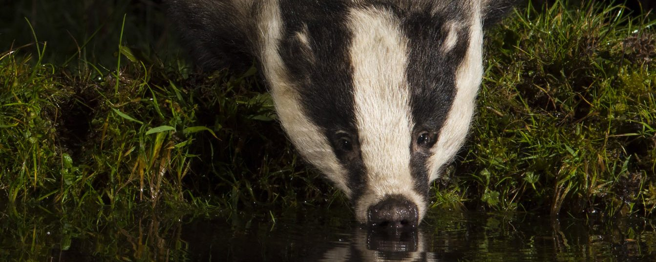 The Badger Crowd – standing up for badgers